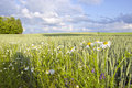 Agricultural field plant wheat rye grains daisy Stock Photo