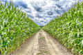 Agricultural field on which the green corn grows hdr road at to dream Royalty Free Stock Photography