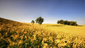 An agricultural field on which grow up cereals poland Royalty Free Stock Images