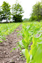 Agricultural field on which grow up corn plants in spring with young green cornfield stems Royalty Free Stock Images