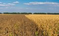 Agricultural landscape with ripe maize and sunflower field Royalty Free Stock Photo