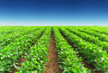 Agricultural landscape rows on the field Stock Photos