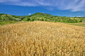 Agricultural landscape wheat field on green hill Royalty Free Stock Photo