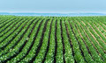 Agricultural soy plantation on sunny day - Green growing soybea Royalty Free Stock Photo