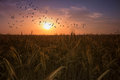 Agricultural sunset with birds flying Royalty Free Stock Photo