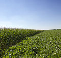 Agriculture an agricultural field on which grow up various plants a beetroot corn Stock Image