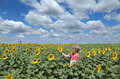 Agriculture agronomy agricultural expert inspecting quality of sunflower in field Stock Photography