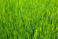 Agriculture background - green fresh grain Royalty Free Stock Photography