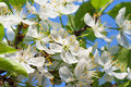 Agriculture blossoming of flowers of cherry on a tree spring Stock Images