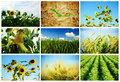 Agriculture collage of various crops sunflowers wheat corn rye soybean Stock Image