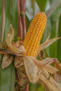 Agriculture corn crop close up of one corncob in field Royalty Free Stock Photo