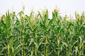 Agriculture, corn Field Royalty Free Stock Photo