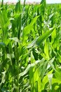 Agriculture corn plants field green plantation Stock Photos