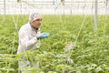 Agriculture engineer controling tomato plant looking at leaves Royalty Free Stock Photos