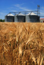 Agriculture farm wheat field with grain silos for Royalty Free Stock Image