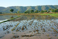 Agriculture field tree mountain reflect after harvest season beautiful landcape of nature flooded farm on water chain of behind Stock Photography