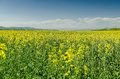 Agriculture field yellow flower landscape in spring Royalty Free Stock Photography