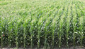 Agriculture green corn field in early summer Royalty Free Stock Image