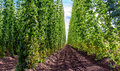 Agriculture - Hops Royalty Free Stock Photo