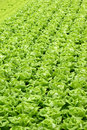 Agriculture - Hydroponic Vegetables 02 Stock Photography