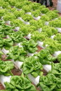 Agriculture - Hydroponic Vegetables Stock Photo
