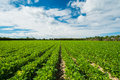 Agriculture landscape view of a freshly growing field Royalty Free Stock Photo