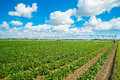 Agriculture landscape view of a freshly growing field Stock Photo
