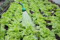Agriculture lettuce watering of fresh in a greenhouse Stock Images