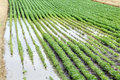 Agriculture natural disaster flooded soy field in spring Royalty Free Stock Images