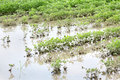Agriculture natural disaster flooded soy field in spring Stock Photography