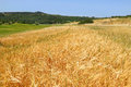 Agriculture pastoral wheat field countryside on the blue sky background Stock Photos
