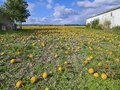 Agriculture, Pumpkin Field Royalty Free Stock Photo