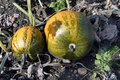 Agriculture, Pumpkin Field in Lower Austria Royalty Free Stock Photo