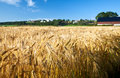 Agriculture ripe rye wheat summer sky blue field norway Royalty Free Stock Photos
