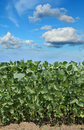 Agriculture, soybean field Royalty Free Stock Photo