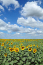 Agriculture, sunflowers filed Stock Photography