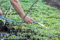 Agriculture watering of tomato plant seedlings in a greenhouse Stock Images
