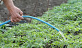 Agriculture watering of tomato plant seedlings in a greenhouse Stock Image