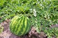 Agriculture watermelon field big fruit water melon Royalty Free Stock Photo