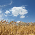 Agriculture wheat field ready for harvest with blue sky and clouds Royalty Free Stock Image