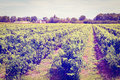 Agriculture young vineyard in southern france instagram effect Royalty Free Stock Photography