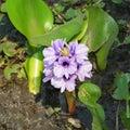 Aguape flower on a wetland of Pantanal, Brazil