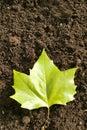 Ahorn leaf Royalty Free Stock Image