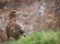 Aigle de steppe Photo libre de droits