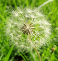 Air flower dandelion favourite and popular of a gentle summer meadow Stock Images