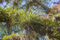 Air plant bromeliad a on a large oak tree branch that s overtaken by other plants and ferns dense tropical foliage Stock Image