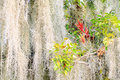 Air plant and Spanish moss Stock Photo