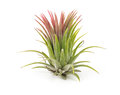 Air Plant Tillandsia Isolated ...