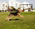 Airdale terrier female dog running grass park sunny day Royalty Free Stock Photos