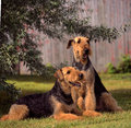 Airedale one lying the other one sitting on a grass covered space in front of and old wood barn Stock Image